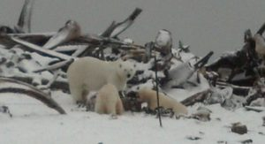 Adult polar bear and two cubs at a whale bone pile in Kaktovik, AK